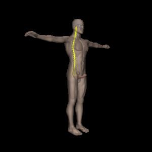 Body View Erect Penis